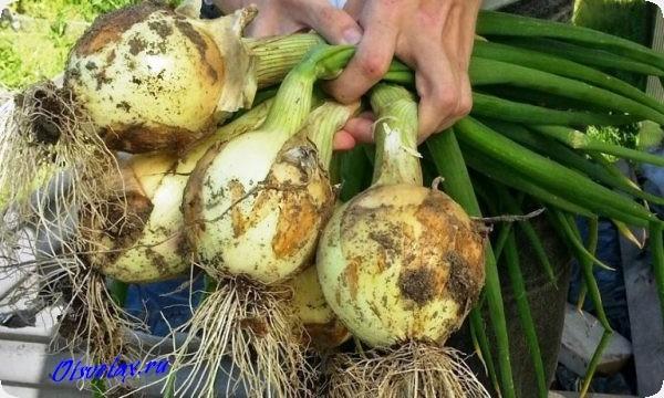 лук репчатый эксибишен выращивание из семян