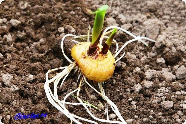 как сажать луковицы гладиолусов весной в грунт