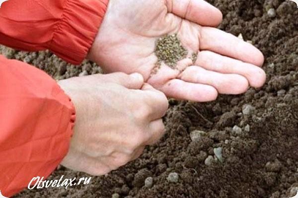 лиатрис колосковый посадка семенами в грунт
