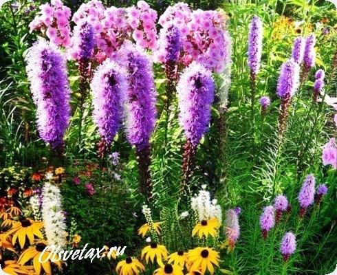 лиатрис колосковый неприхотливый садовый цветок
