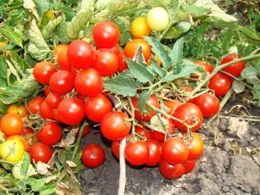 pomidory-sibirskoj-selekcii-dlja-otkrytogo-grunta