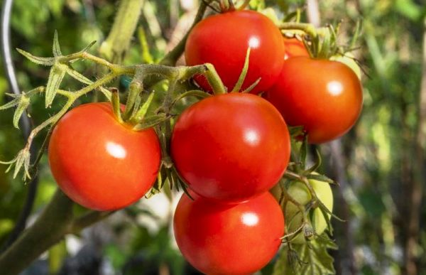 урал F1 сорт томатов для сибири для открытого грунта