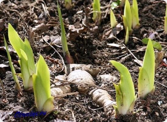 чем подкормить ирисы весной