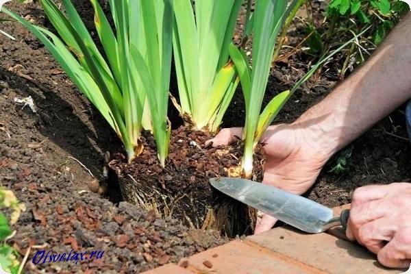 чем удобрять ирисы при выращивании