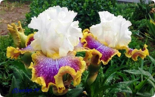 пышное цветение ириса чем подкормить