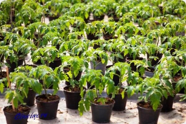 подготовка рассады помидор к высадке в грунт