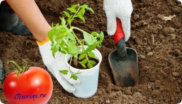 как высаживать рассаду помидоров в открытый грунт