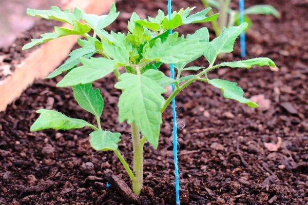 как правильно высаживать помидоры в грунт рассадой
