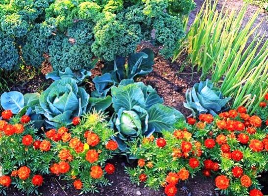 рассада бархатцев на огороде защита от вредителей