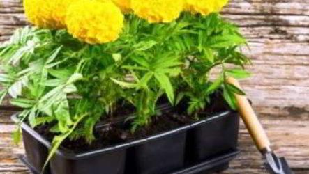 Рассада бархатцев: посев, выращивание и уход в домашних условиях