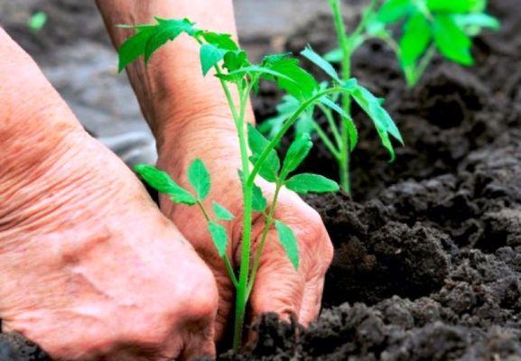 какую рассаду помидоров высаживают в грунт