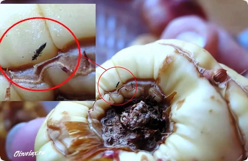 трипсы гна луковицах гладиолусов