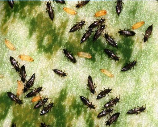 трипсы на листьях гладиолусах меры борьбы с вредителями