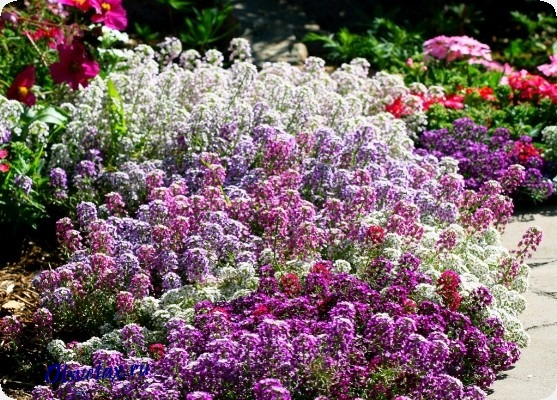 название и фото однолетних цветов цветущих все лето