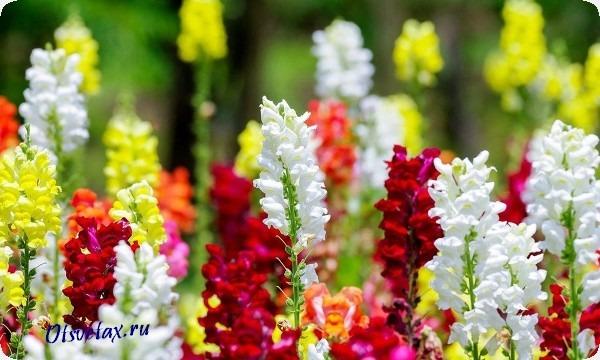 названия однолетних цветов цветущих +все лето