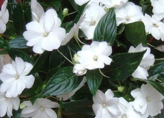 однолетние цветы цветущие все лето низкорослые