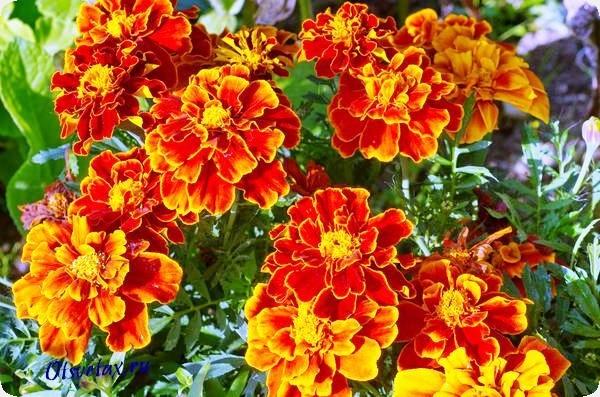 название цветов цветущих все лето