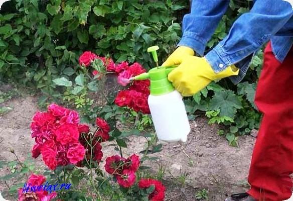 чем обработать розы от тли средства народные