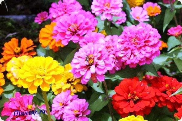 цветущий цветок циния фото и название