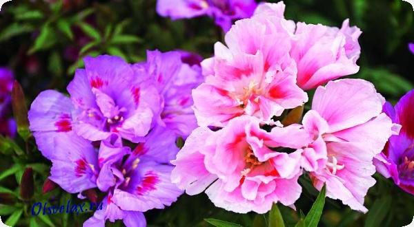 цветок годеция цветущая