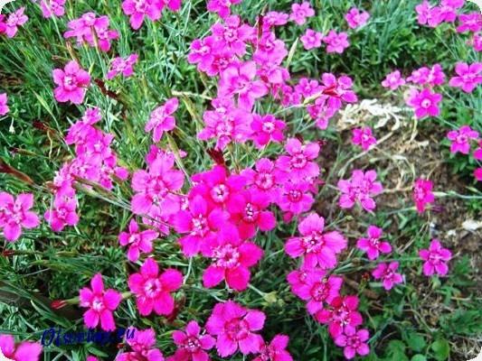 однолетние цветы цветущие все лето фото