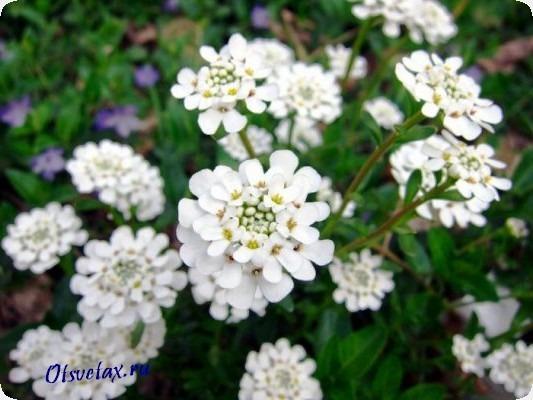 однолетние цветы для дачи цветущие все лето