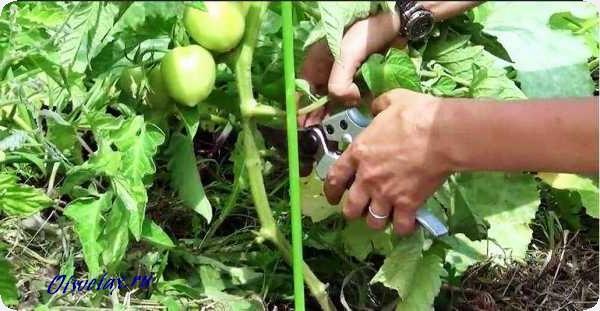 нужно ли обрезать листья у помидор