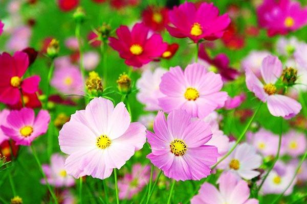 красивые однолетние цветы фото и название цветущие все лето