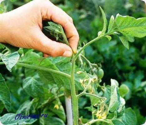 обрезать ли листья у помидор
