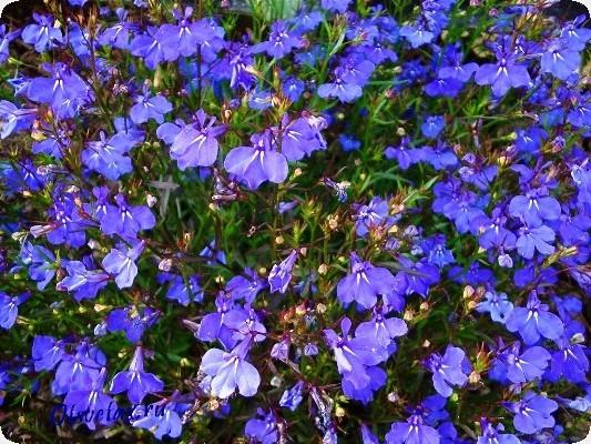 садовые однолетние цветы цветущие все лето фото и названия