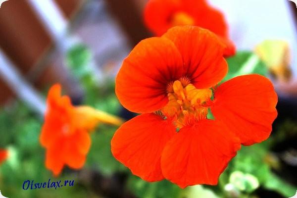 однолетний цветок настурция фото