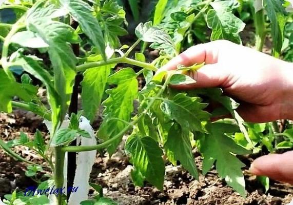 какие листья обрезать у помидор
