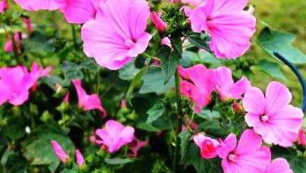 Однолетние цветы цветущие все лето (21 шт) название, описание, фото