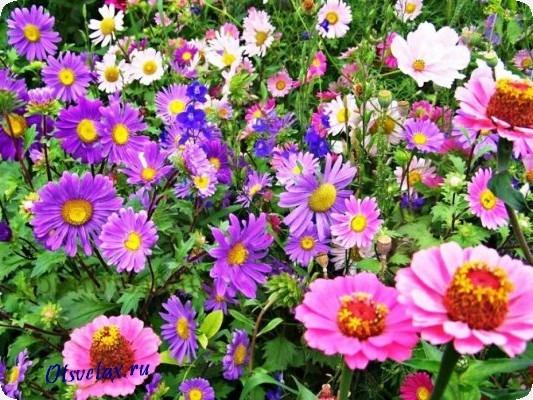 цветы однолетние цветущие все лето