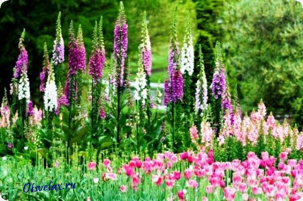 однолетник цветок цветущий все лето