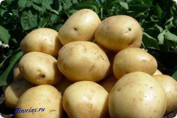 сорт гала картофель характеристика