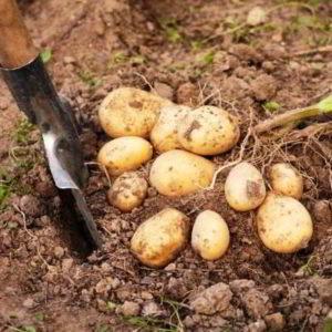 Картофель сорт гала: характеристика, описание, отзывы кто сажал