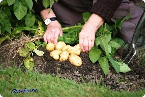 картофель гала семенной картофель отзывы