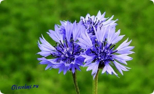 василек цветок однолетник фото