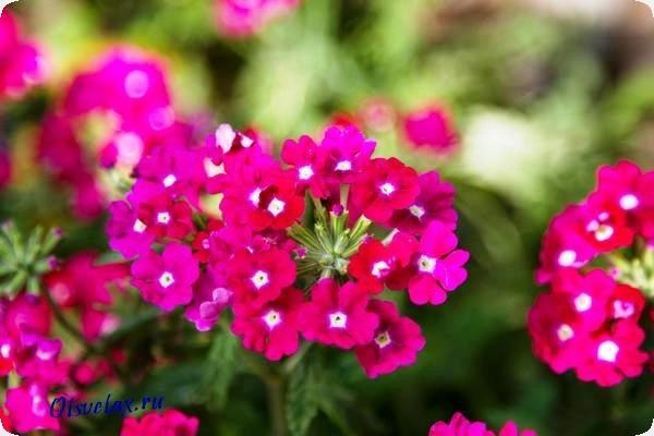 названия однолетних цветов цветущих все лето