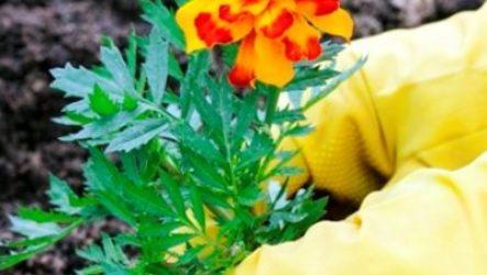 Бархатцы: как вырастить из семян, когда сажать на рассаду
