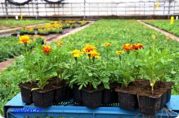 бархатцы рассада выращивание