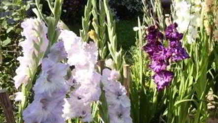 Гладиолусы после цветения: уход, обрезка, подкормка