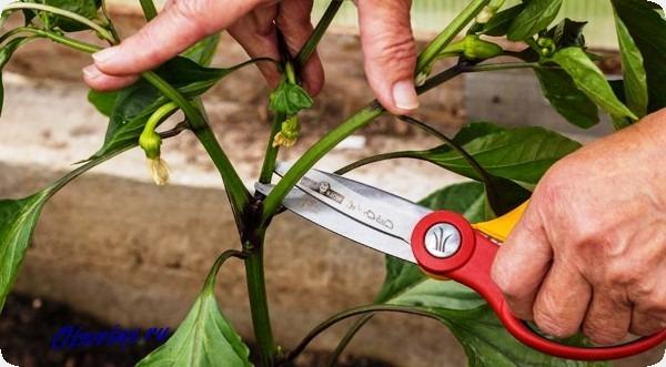 обрезка листьев сладкого перца