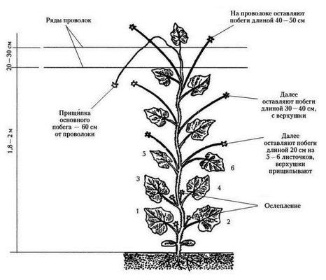 как обрезать листья у огурцов схема