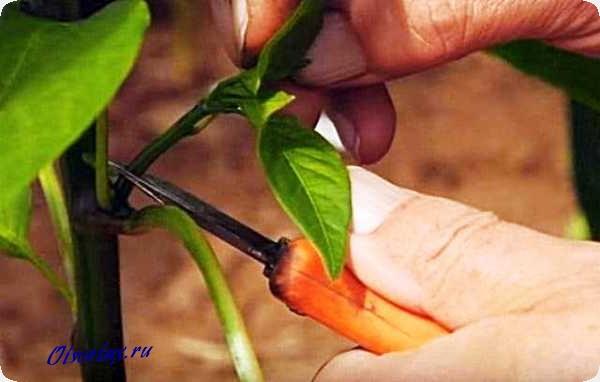 какие листья обрезать у перцев