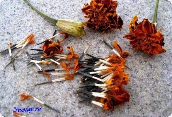 цветы бархатцы семена фото