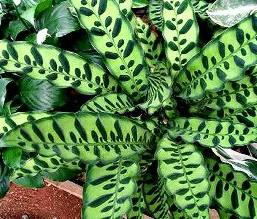 Декоративнолистные растения