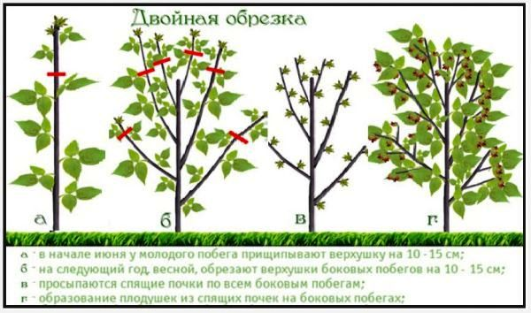 обрезка малины осенью на какую высоту
