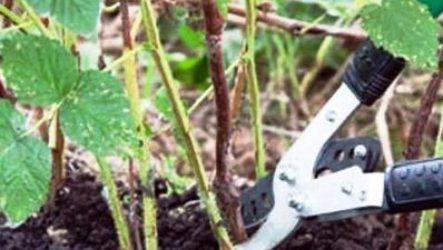 Когда обрезать малину осенью: сроки, месяцы, регионы